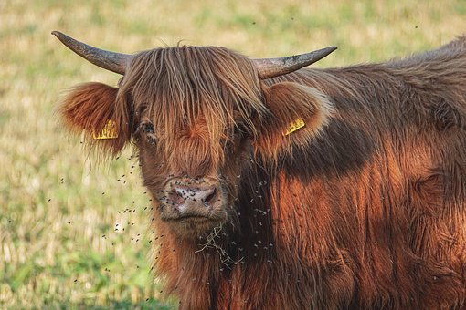 Beef, Highlands, Cow, Pasture, Animal, Agriculture
