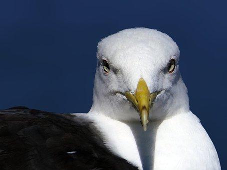 Gull, Head, Face, Portrait, Close Up, Eyes, Yellow Beak