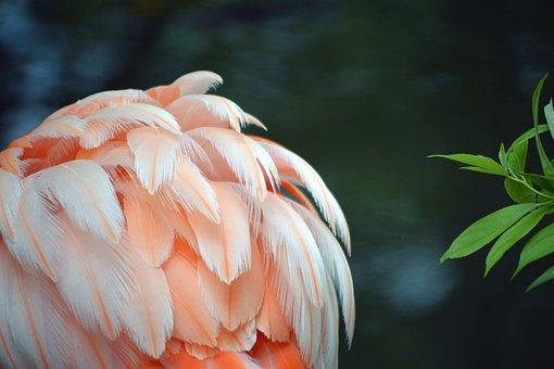 Flamingo, Feather, Pink, White, Ruffled, Bird, Colorful