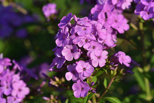 Flame Flower, Phlox Paniculata, Flower, Purple, Small