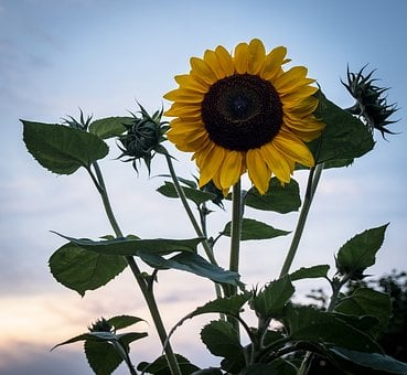 Sun Flower, Green, Yellow, Blossom, Bloom, Flower