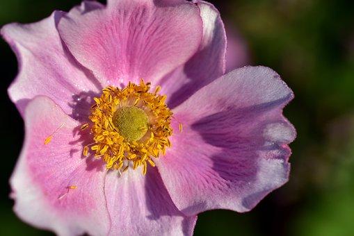 Anemone, Blossom, Bloom, Flower, Nature, Close Up