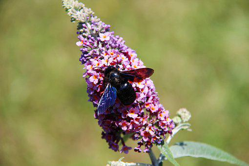 Carpenter Bee, Insect, Flower, Nature, Bees, Forage