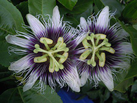 Flower, Passion Fruit, Nature, Passion Flower