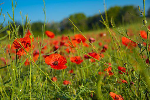 Poppy, Field Of Poppies, Summer, Red, Flower, Landscape