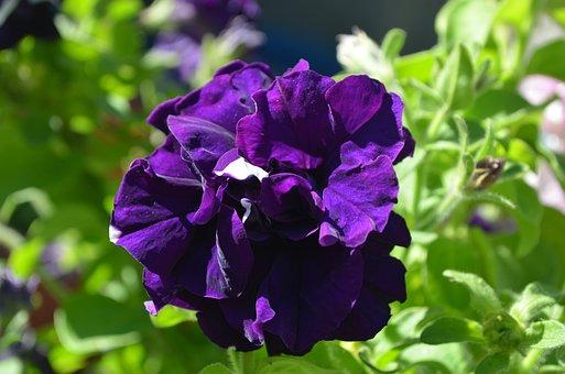 Petunia, Flower, Purple, Flowers, Garden, Bloom, Nature