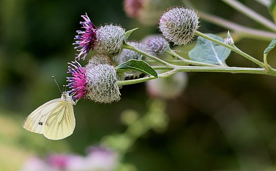 White, Burdock, Forest, Nature, Butterfly, Atmospheric