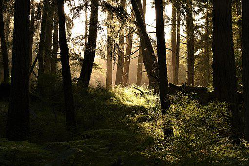 Forest, Trees, Ray Of Light, Landscape, Sunlight