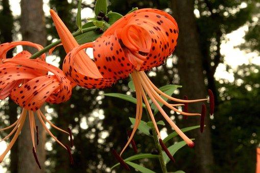 Orange Tiger Lily, Orange, Flower, Floral, Garden