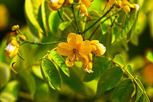 Buttercup Bush, Glandular Senna, Flower, Shrub, Stamens