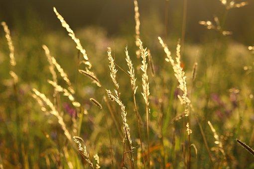 Edge Of Field, Meadow, Summer, Ear, Grass, Panicle