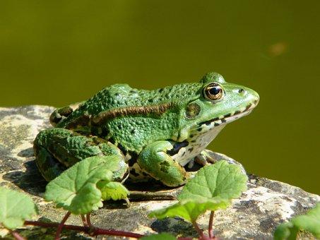 Frog, Toad, Green, Pond, Animal, Nature, Frog Pond
