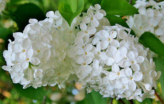 White Lilac, Flowers, Spring, Lilac Flower