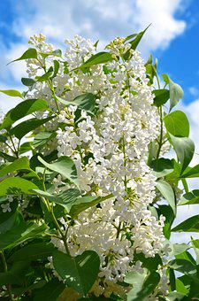 Lilac, Flowers, White Lilac, Spring, Nature
