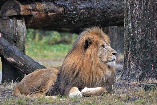 Lion, Mane, Predator, Cat, Animal, Male, Dangerous