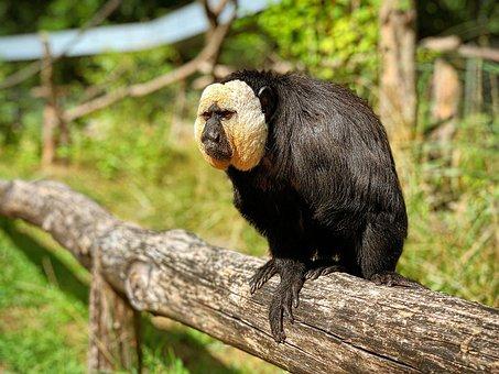 Monkey, Rest, Log, Wood, Animal, Ape, äffchen, Tired