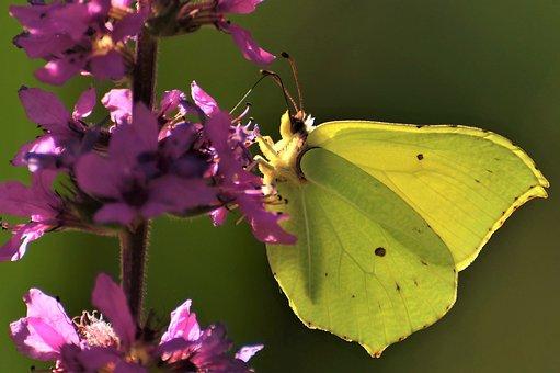 Gonepteryx Rhamni, Macro, Yellow, Meadow, Butterfly