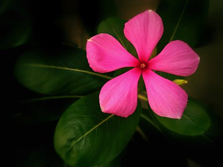 Flower, Pink Flower, Madagascar Periwinkle, Plant