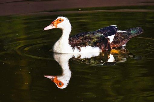 Muscovy Duck, Waterbird, Bird, Animal, Waterfowl, Male
