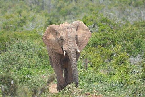 Elephant, Wildlife, Animal, Nature, Outdoors, Mammal