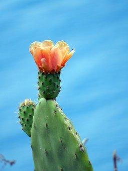 Cactus, Madeira, Flora, Nature, Portugal, Cliff