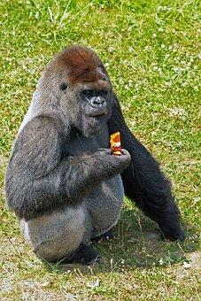 Ape, Orang-outang, Wild Animal