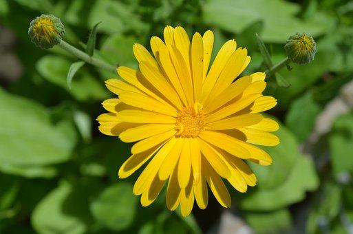 Calendula, Flower, Orange, Summer, Nature, Garden