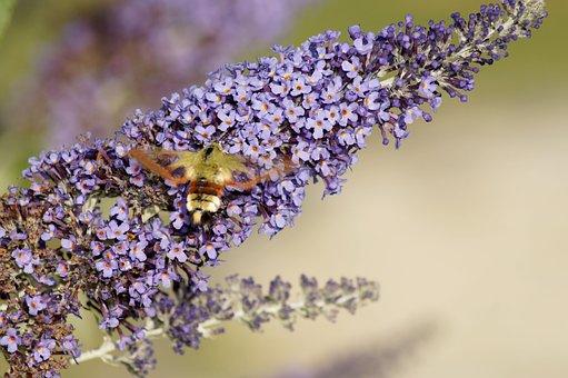 Hummingbird Hawk Moth, Insect, Flower, Wing, Plant