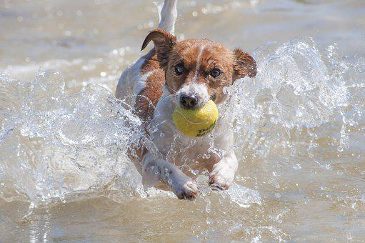 Dog, Action, Racing, Jack Russell, Water, Tennis