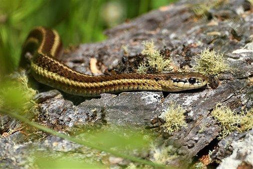 Garter Snake, Forest, Macro, Crawl, Reptile, Usa