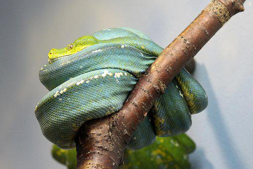 Snake, Python, Rep, Reptile, Constrictor, Green, Blue