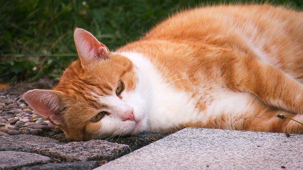 Cat, Rest, Thoughtful, Concerns, Sleep, Red Head