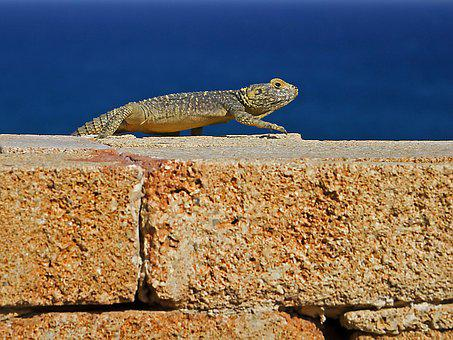 Agame, Hardun, Lizard, Spin Tail, Greece, Rhodes