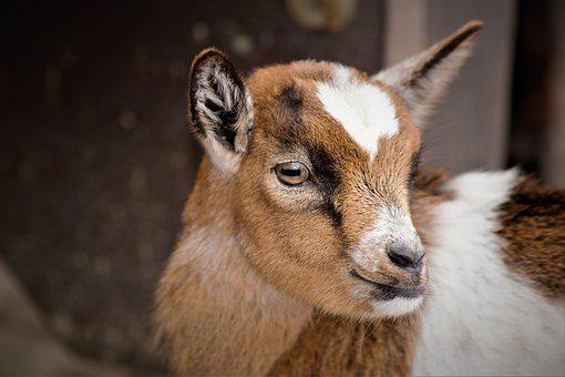 Baby Goats, Goat, Small Cute, Sweet, Small, Young