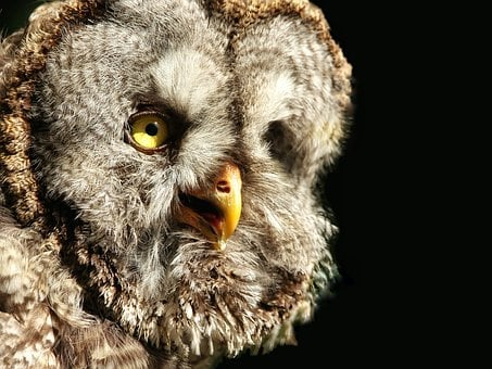 Bart Owl, Strix Nebulosa, Bird, Owl, Night, Close Up