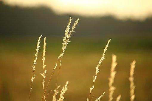 Summer, Grass, Pasture, Ear, Plant, Nature, Landscape