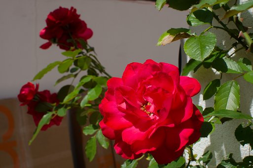 Flowers, Garden, Nature, Plant, Summer, Spring, Bloom