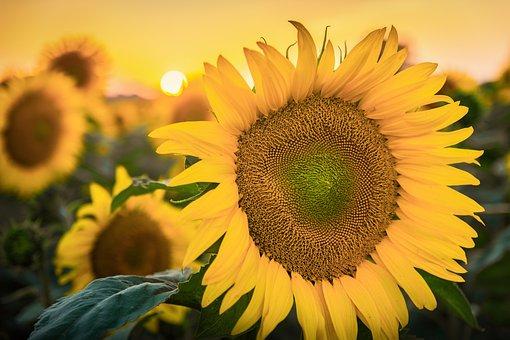 Sun Flower, Sun, Nature, Summer, Yellow, Blossom, Bloom