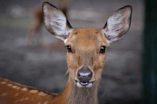 Roe Deer, Face, Animal, Nature, Sweet, Cute, Curious