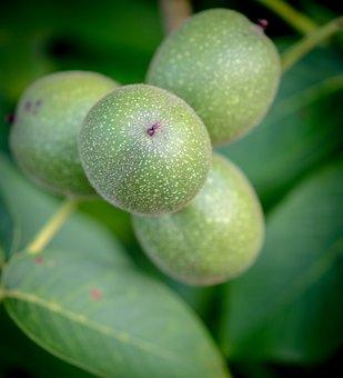 Apple, Fruit, Immature, Fresh, Healthy, Vitamins