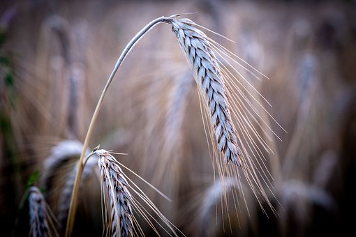 Ear, Weize, Barley, Blade Of Grass, Cereals
