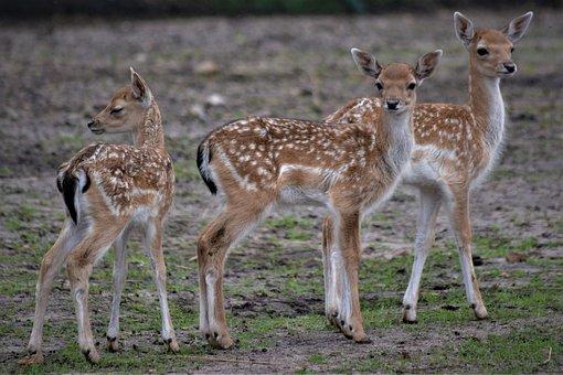 Roe Deer, Deer, Fawn, Mammal, Wild, Kitz, Forest