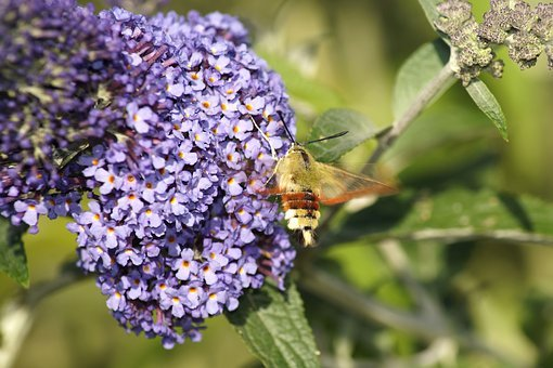 Hummingbird Hawk Moth, Insect, Flower, Wing, Nature