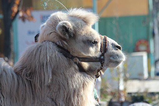 Camel, Animal, Pet, Mosalagae, Head, Profile, Bridle
