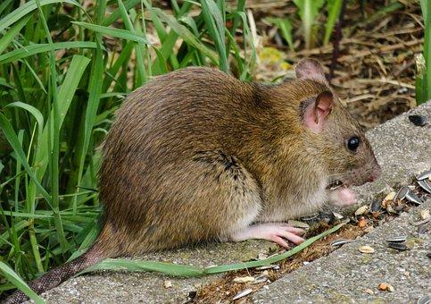Animal World, Nager, Rat, Brown, Rodent, Eat