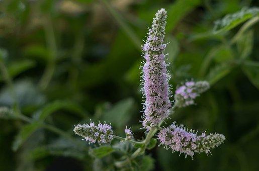 Mint, Peppermint, Tee, Herbs, Aroma, Tea Herbs
