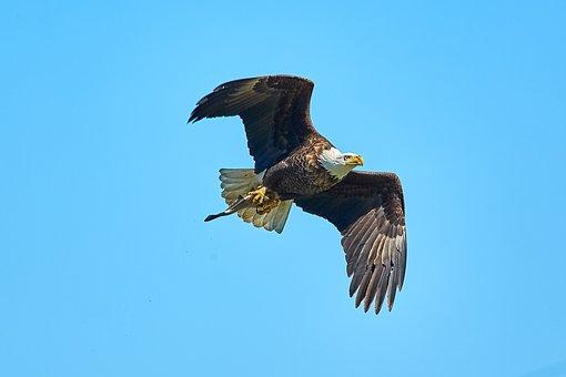 Bald Eagle, Eagle, America, Bird, Raptor, Bill, Animal