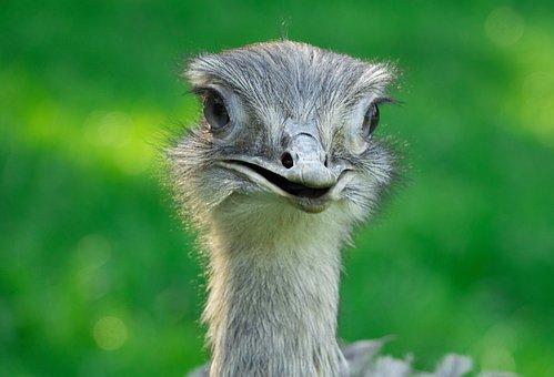 Rhea Bird, Bird, Flightless Bird, Animal, Feather