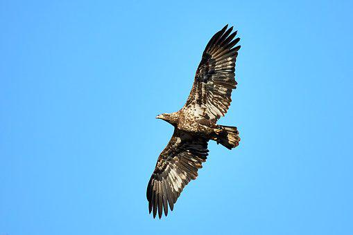 Eagle, Bald Eagle, Bif, Bird In Flight, Raptor, Animal