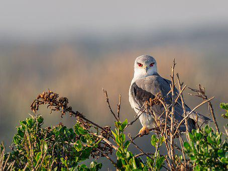 Black-winged Kite, Black-shouldered Kite, Kite, Bird